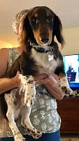 long-haired-dachshund-low-rider-jpg