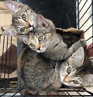 yhsspca-tiger-kittens-box-2019-jpg
