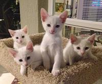 yhsspca-white-kittens-2019-jpg