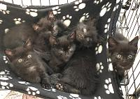 yhsspca-black-kittens-2019-jpg