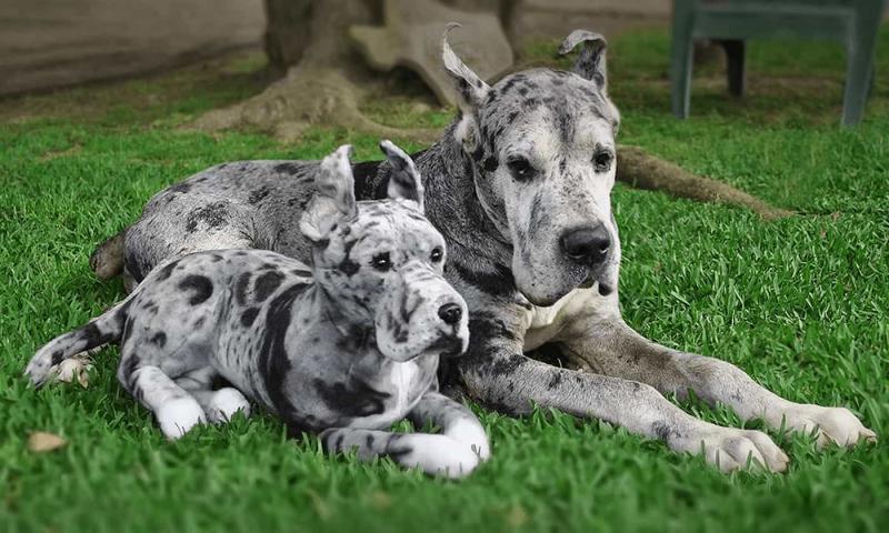 cuddle-clone-great-dane-jpg