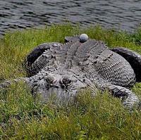 alligator-golf-ball-back-jpg