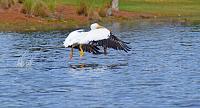 pelican-3-jpg