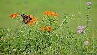 butterfly-monarch-signed-5-jpg