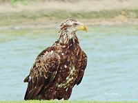 eagle-young-800-jpg