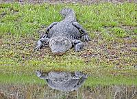 alligator-3-copy-jpg