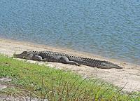 1-gator-jpg