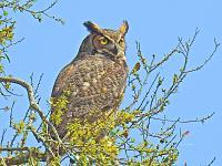owl-3-jpg