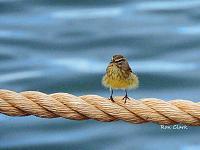 1-palm-warbler-jpg