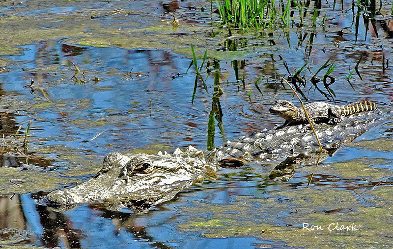 alligator-baby_signed-jpg