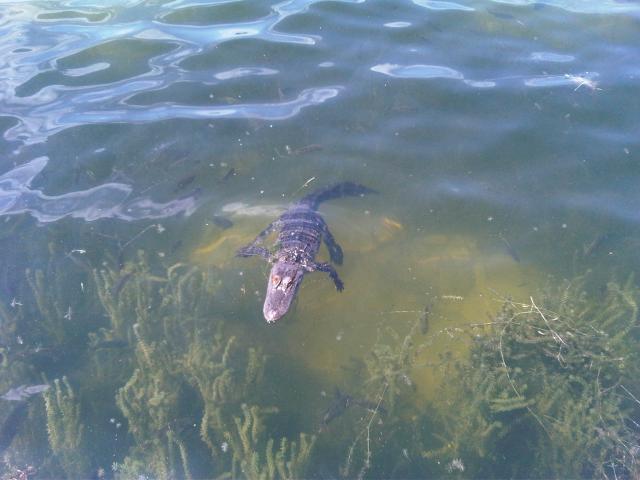 alligator-jpg