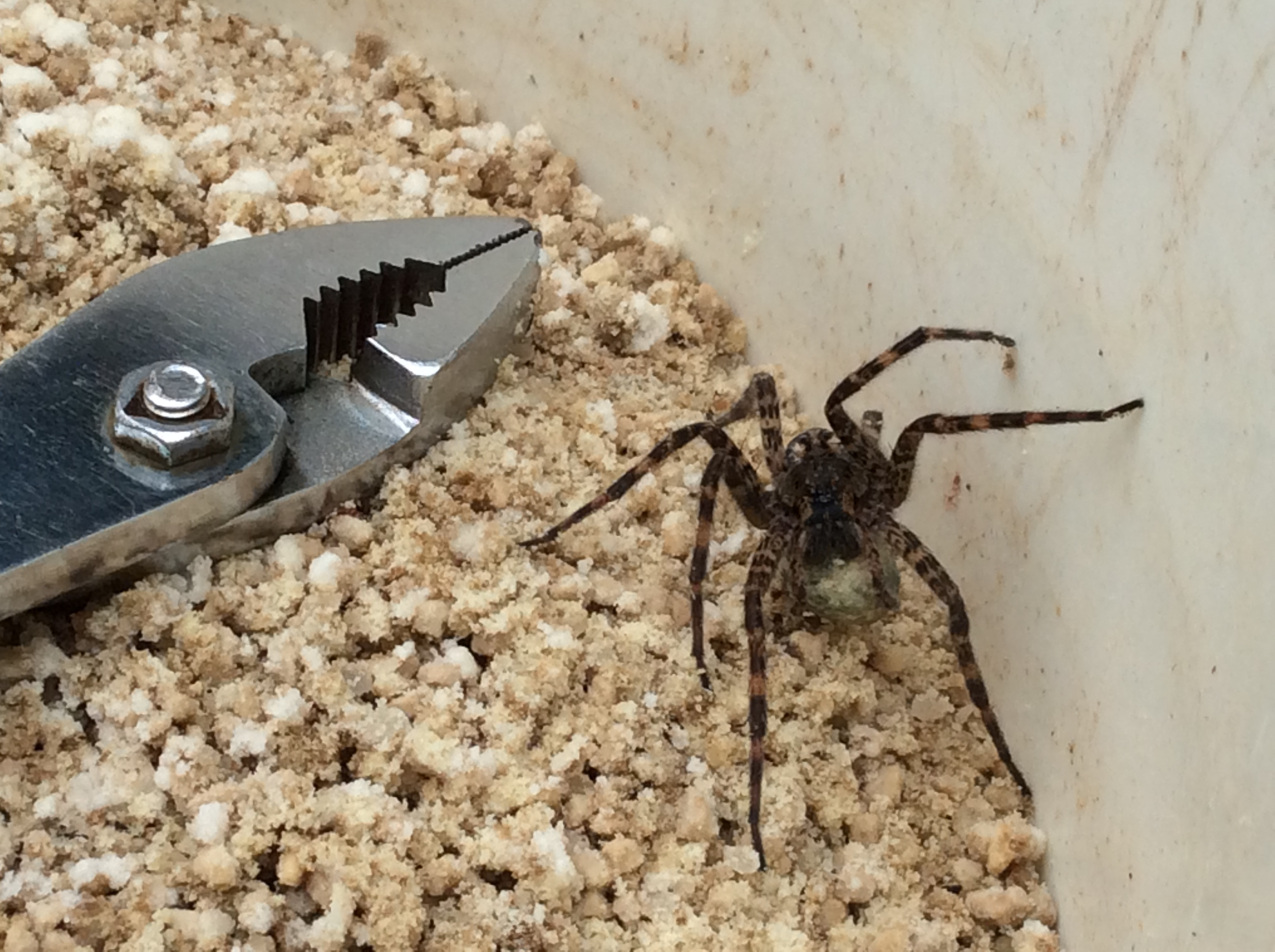 recluse women A brentwood woman is recovering after a brown recluse spider bit her several times.