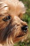 Monty, Yorkshire Terrier