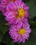 Double Dahlia made to look like an oil painting.
