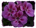 Just some simple petunias made to look like an oil painting.